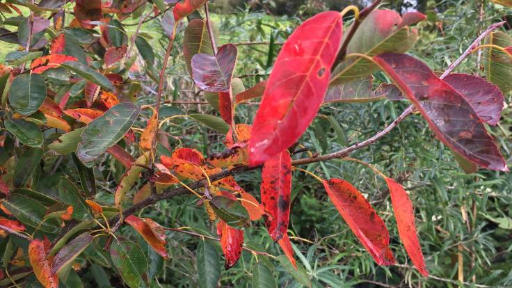 Red leaves of Amelanchier canadensis