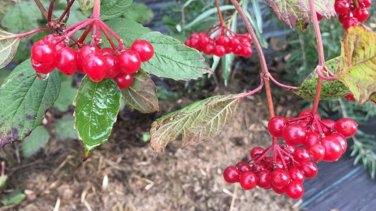Bright red berry clusters