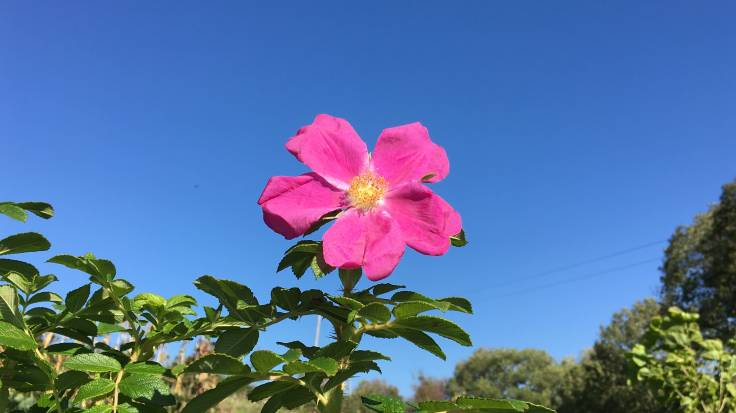 Bright pink rose flower against a blue sky