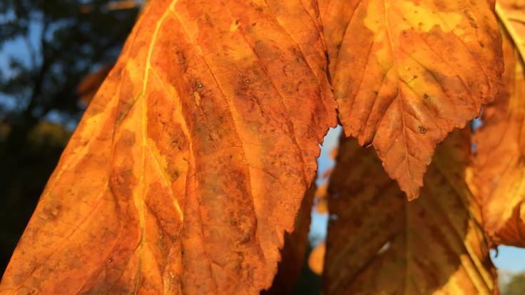 Close up orange autumn horse chestnut leaves
