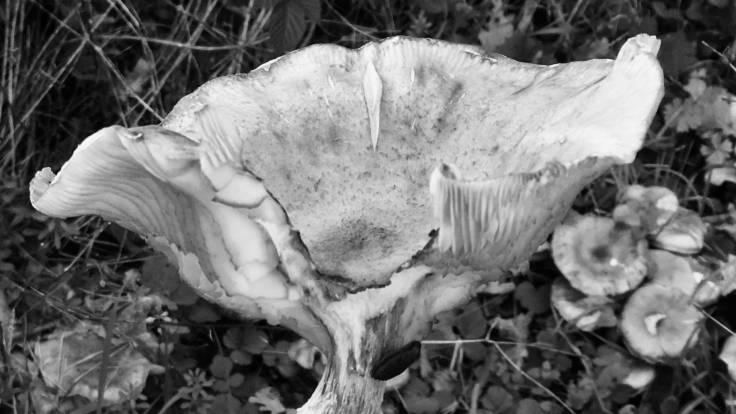 Mushroom eaten by slugs