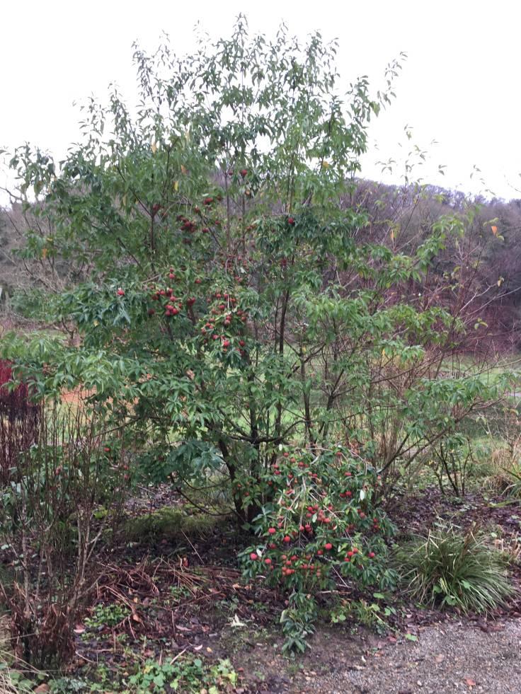 Cornus kousa tree/shrub