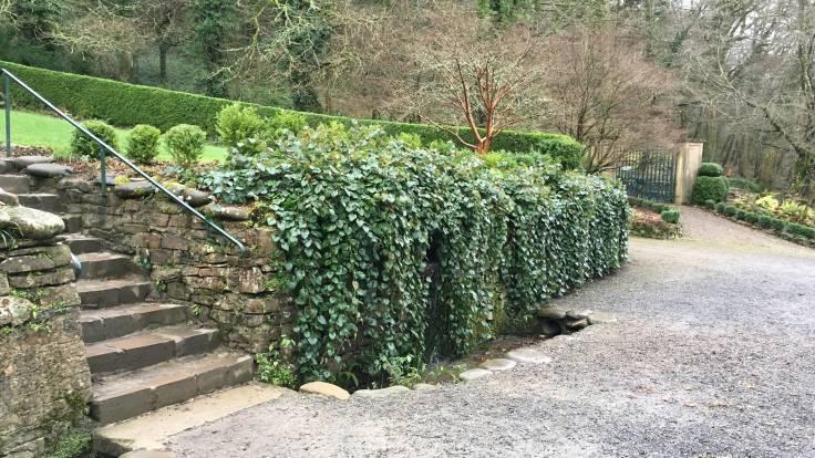 Evergreen vegetation spilling over wall next to steps