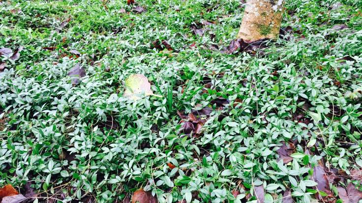 Vinca minor (Lesser Periwinkle) glossy evergreen ground cover