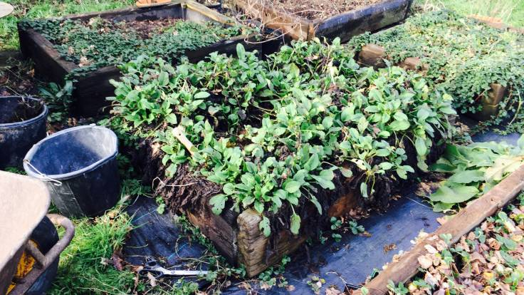 Dwarf comfrey in raised bed