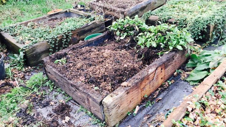 Two thirds empty raised bed with comfrey