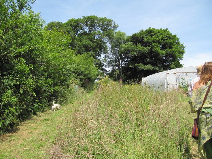 Hedge up hill to left, long grass in foreground, mature trees in background, polytunnel middle distance to right, small white dog walking up hedge path