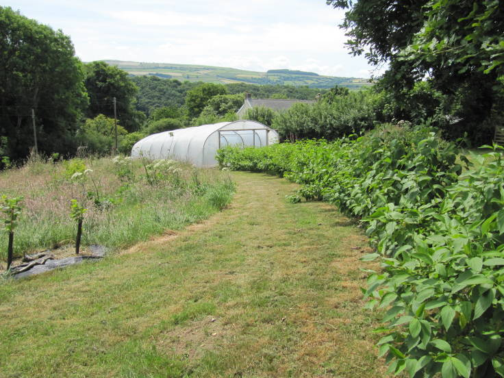 Photo of meadow to left, bushy green young hedge to right, polytunnel at end of the path, trees and hills in the background