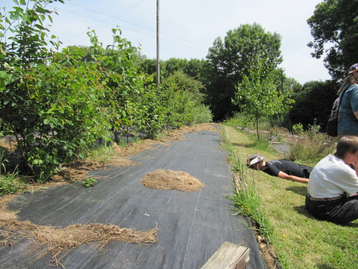 Long young hedge to left, sheet mulched with woven plastic, grass path and people to the right
