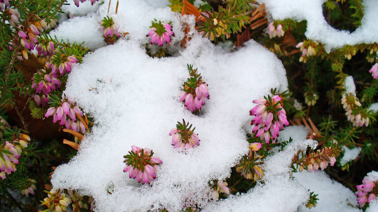 Small pink heather flowers blossoming through snow