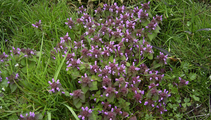 Lots of mauve flowers on dead nettle in grass