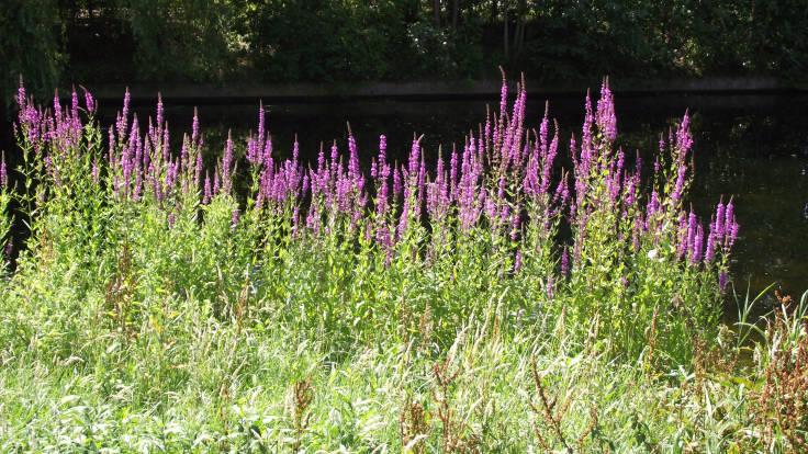 Spires of purple flowers against pond