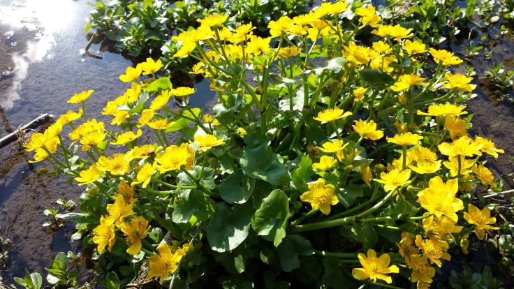 Bright yellow flowers of marsh marigold