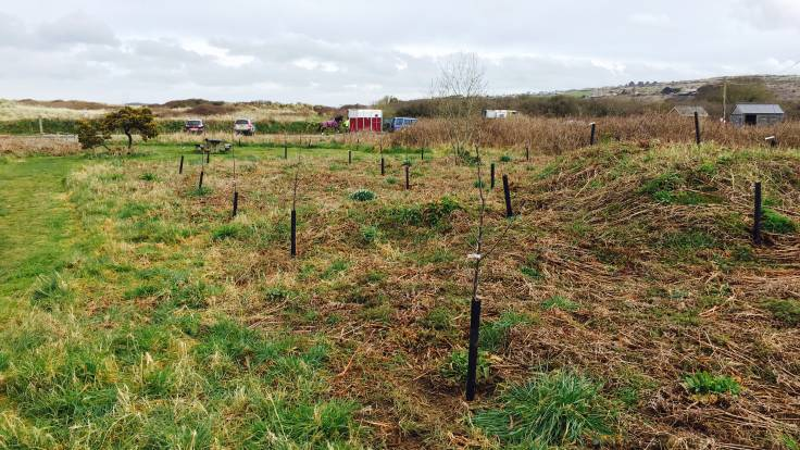Newly planted apple trees with rabbit guards, car park and sand dunes in the distance