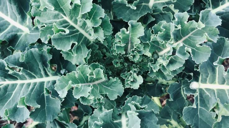 Close up from above of purple sprouting broccoli leaves