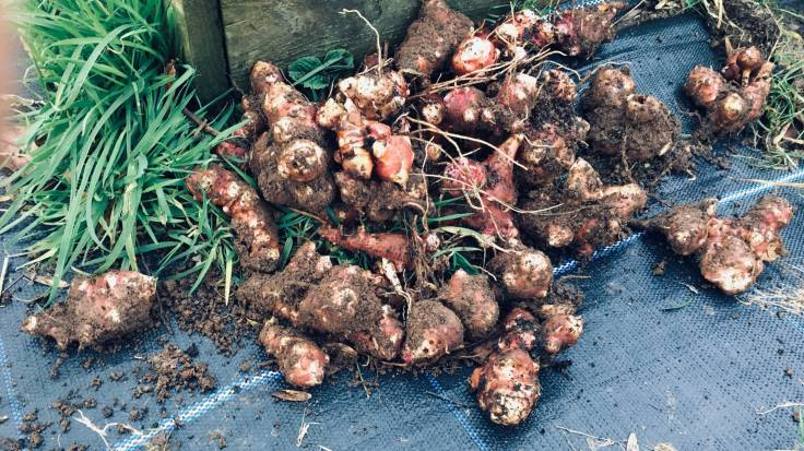 Pile of freshly harvested, muddy, knobbly Jerusalem Artichokes next to raised bed
