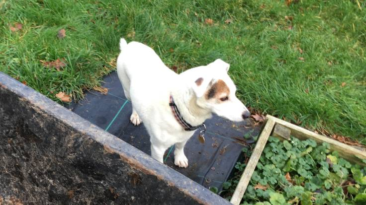 Little white dog standing by raised beds and edge of wheelbarrow