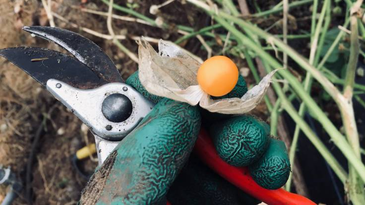 Gloved hand holding secateurs and bright orange Groundcherry fruit