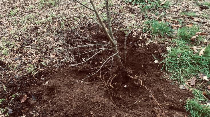 Half dug roots of large shrub
