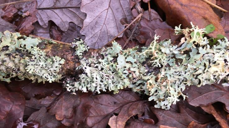 Lichen encrusted branch on leaf fall