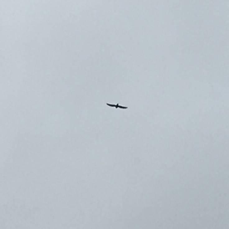 Blurry silhouette against grey sky of a hawk