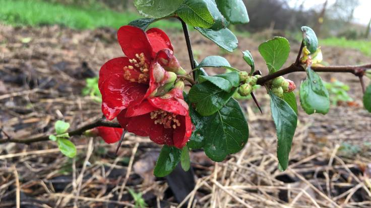 Close up of red flowers of Japanese Quince