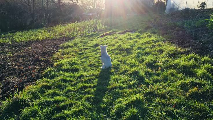 Small white dog sitting in sun, casting long shadow on grass
