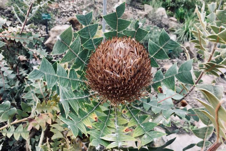 Big brown seedhead surrounded by circle of spiky leaves