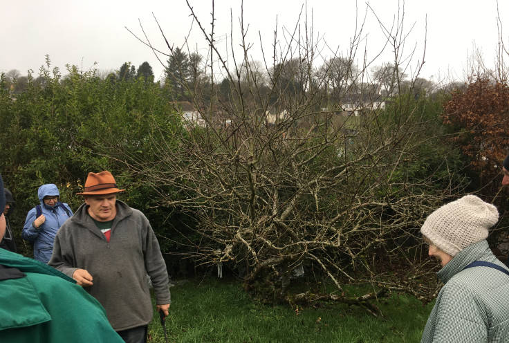 Very twiggy apple tree, man with hat and saw