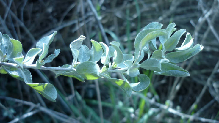 Close up of blue green stalk and leaves of the Saltbush