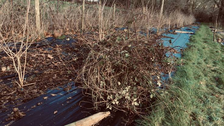 Bundle of bramble next to a young hedge on sheet mulch
