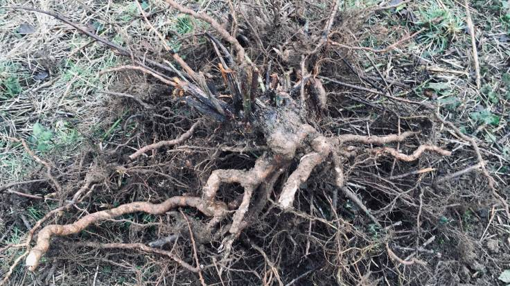Large clump of bramble root on top of a pile