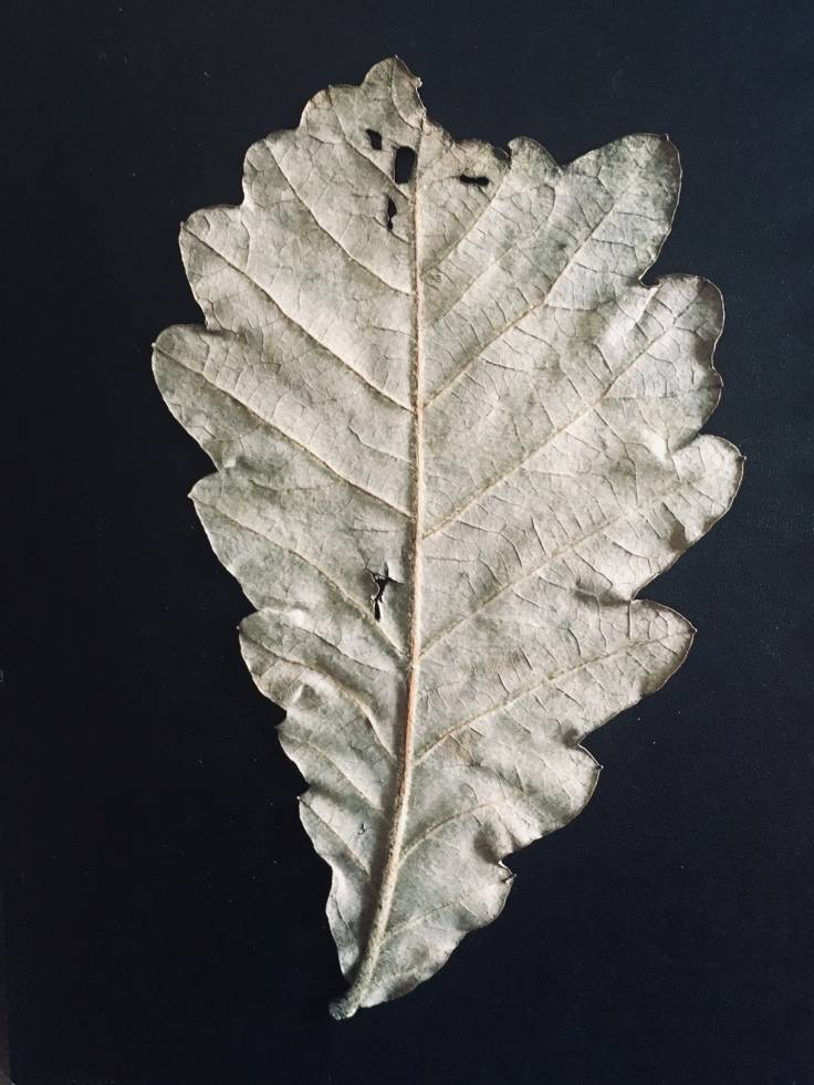Dry brown oak leaf on black background