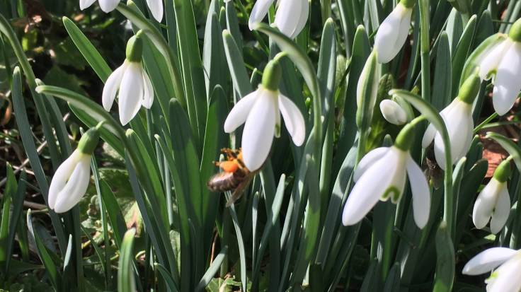 Bee in the white flower of the snowdrop