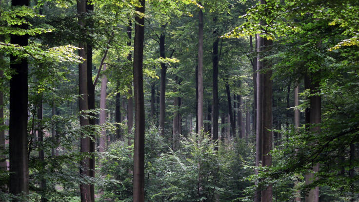 Beech forest in Belgium, photo by Donar Reiskoffer on Wikipedia