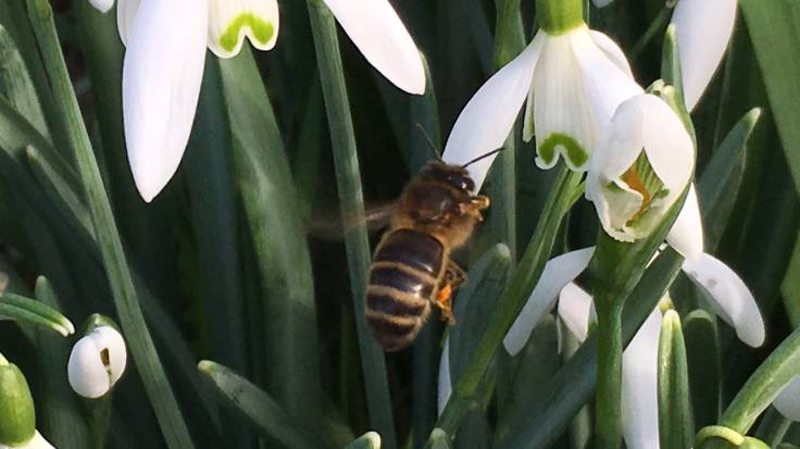 Close-up bee on snowdrop flower