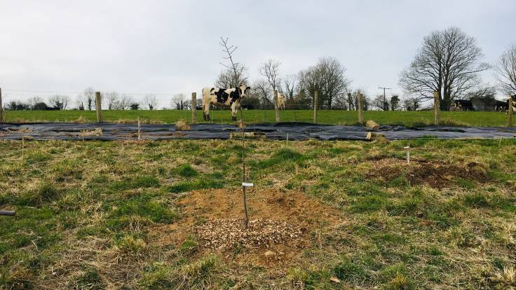 Newly planted trees in greenfield site