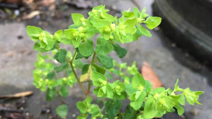 Bright green leaves closeup of Spurge