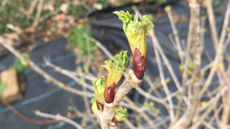Emerging leaf buds of Guelder Rose