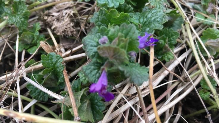 Purple blue flower of low growing Alefoot
