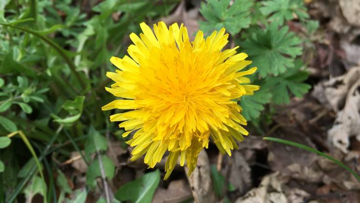 Bright yellow dandelion flower close-up