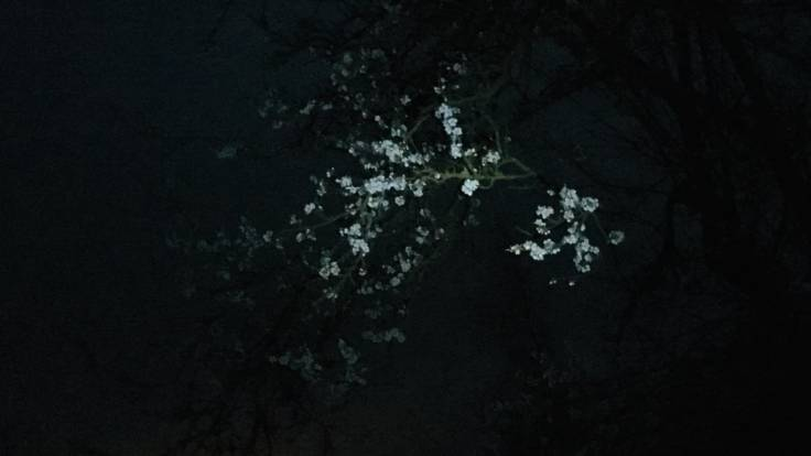 White blossom, pixelated photo, lit up by torch light
