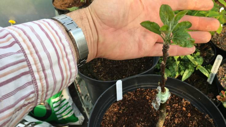 Hand cradling newly grafted apple in leaf