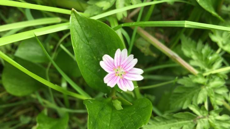 Small pink flower and green foliage