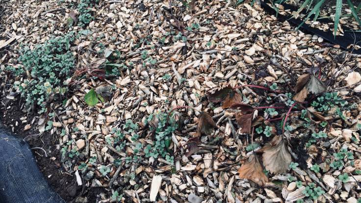 Woodchip mulch with seedlings and ground cover plants