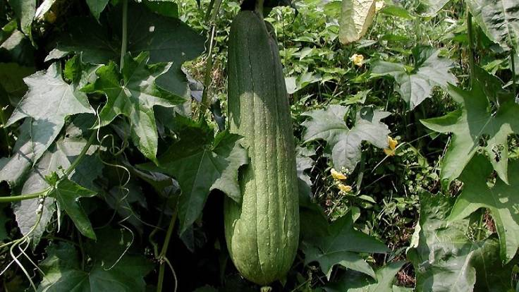 Hanging green cucumber shaped fruit