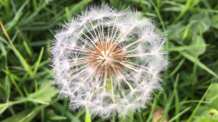 Dandelion clock seed head close-up