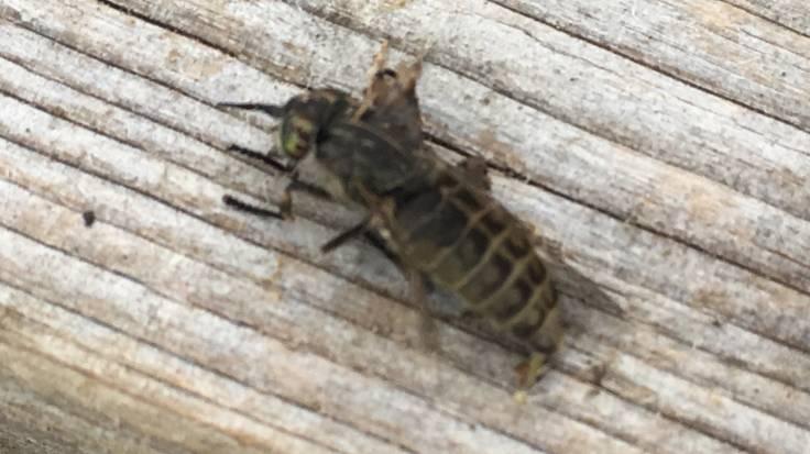 Rather flattened Horsefly
