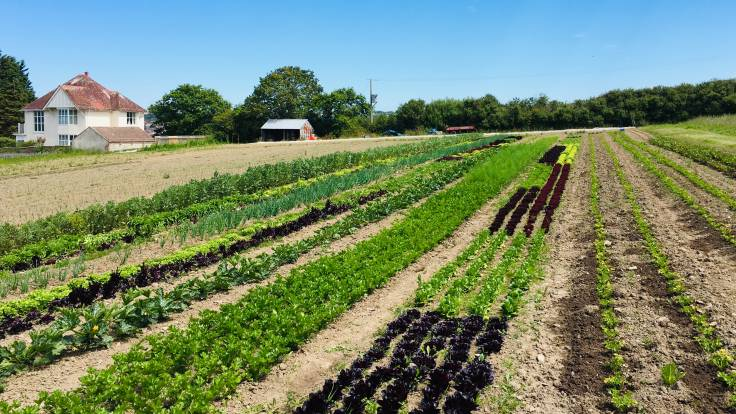 Tidy lines of vegetables in a field
