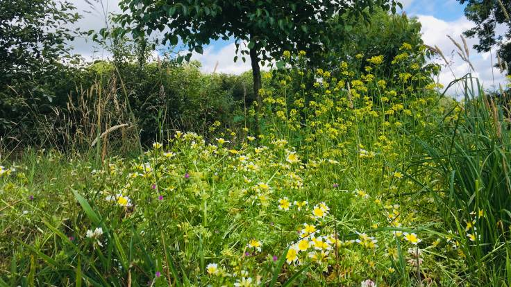 Yellow and white flowers of poached egg plant amidst grass and mayhem of forest garden